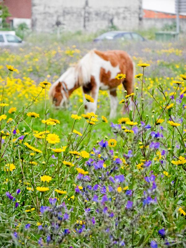 Cavalo pastando nos arredores de Aveiro